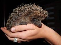 Hedgehog. Stock Images