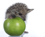 Hedgehog and apple royalty free stock image
