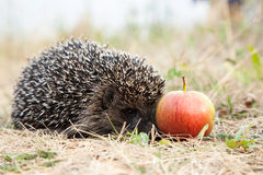 Hedgehog and apple. Royalty Free Stock Image
