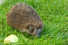 Hedgehog and apple. On the grass Stock Images