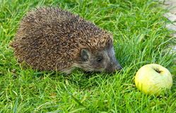 Hedgehog and apple. On the grass Stock Image