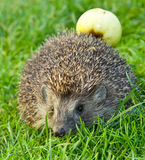 Hedgehog and apple. On the grass Royalty Free Stock Photos