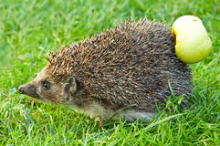 Hedgehog and apple. On the grass Royalty Free Stock Photography