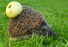 Hedgehog and apple Stock Images
