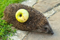 Hedgehog and apple. On the grass Royalty Free Stock Images