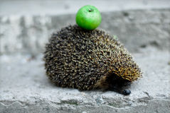 Hedgehog with an apple Stock Image