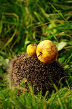 Hedgehog with apple amber Royalty Free Stock Image