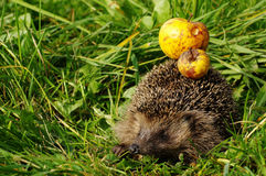 Hedgehog with apple 9 Stock Images