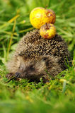 Hedgehog with apple 7 Stock Images