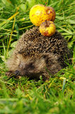 Hedgehog with apple 5 Stock Images