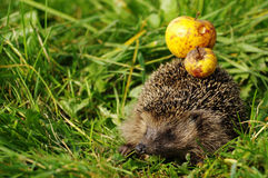 Hedgehog with apple 4 Royalty Free Stock Photo