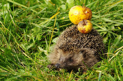 Hedgehog with apple Royalty Free Stock Images