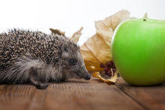 hedgehog and apple in autumn leaves on the wooden floor stock photo