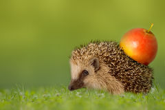 Hedgehog with apple on the backs Royalty Free Stock Photos