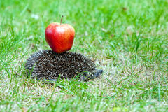 Hedgehog and apple Stock Photography