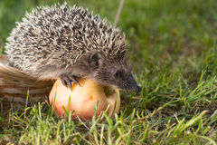 Hedgehog with Apple in the grass Stock Photography