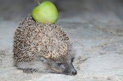 Hedgehog with an apple Stock Photos