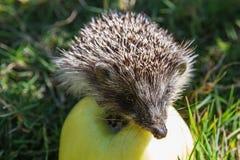 Hedgehog and apple (erinaceus europaeus) Stock Photography