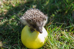 Hedgehog and apple (erinaceus europaeus) Royalty Free Stock Images