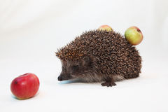 Hedgehog with apples. On a back on a white background Royalty Free Stock Images