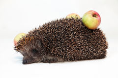 Hedgehog with apples. On a back Stock Image