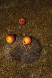 Hedgehog with apples on their needles walks green grass stock photography