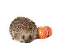 Hedgehog with apples on a white background Stock Photo