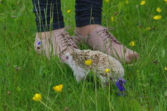 Hedgehog, Atelerix albiventris royalty free stock photography