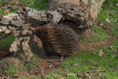 Hedgehog in the Australian outback. Hedgehog eating ants in the Australian outback Stock Photography