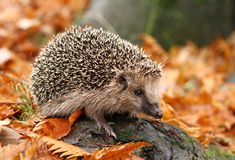 Hedgehog in autumn. Cute wild hedgehog in autumn Stock Photos