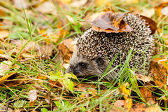 Hedgehog in the autumn forest Royalty Free Stock Photography