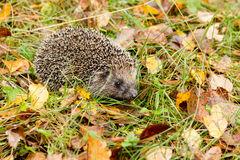 Hedgehog in the autumn forest Royalty Free Stock Photos