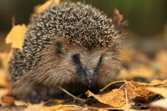 Hedgehog in the autumn Stock Photos