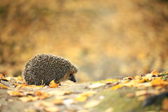 Hedgehog in the autumn Royalty Free Stock Photography