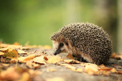 Hedgehog in the autumn forest Royalty Free Stock Photo