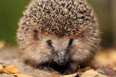 Hedgehog in the autumn forest Stock Photos
