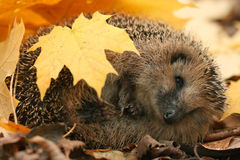 Hedgehog at autumn leaves Royalty Free Stock Images
