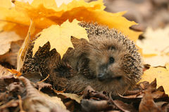 Hedgehog in autumn leaves Royalty Free Stock Photography