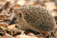 Hedgehog autumn leaves Stock Photos