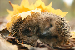Hedgehog autumn leaves Royalty Free Stock Image