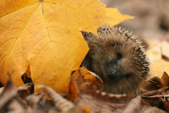 Hedgehog autumn leaves Stock Photography