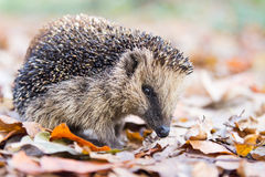 Hedgehog in autumn leaves Royalty Free Stock Images