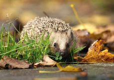Hedgehog in autumn royalty free stock photos