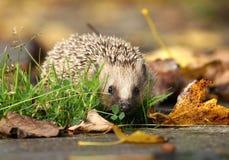 Hedgehog in autumn Royalty Free Stock Photos