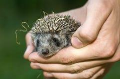 Hedgehog baby. West European Hedgehog baby (Erinaceus europaeus) in hand Royalty Free Stock Photos
