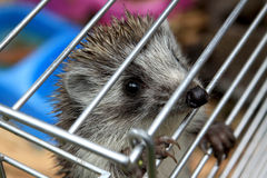 Hedgehog baby Royalty Free Stock Images