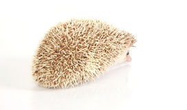 Hedgehog baby Royalty Free Stock Image