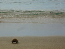 Hedgehog. A baby hedgehog on the beach Royalty Free Stock Photo