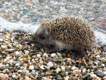 Hedgehog. A baby hedgehog on the beach Royalty Free Stock Photography