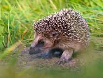 Hedgehog Baby close up Royalty Free Stock Images
